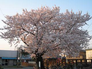 超満開の桜