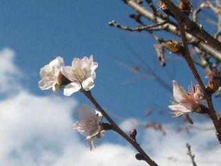 冬桜公園 009