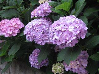 隣の紫陽花1
