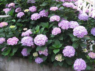 隣の紫陽花2