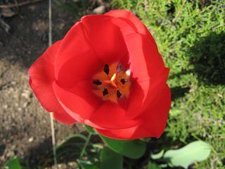 庭のチューリップ1