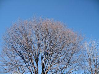 冬の青空と木