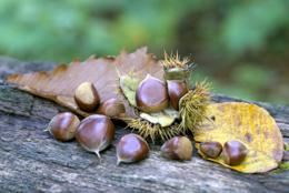 枯葉と栗の実