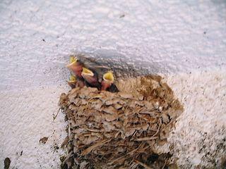燕のヒナ孵る1