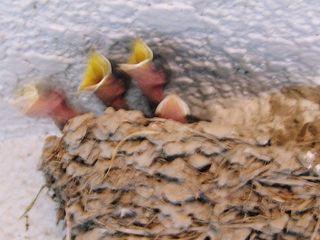 燕のヒナ孵る2