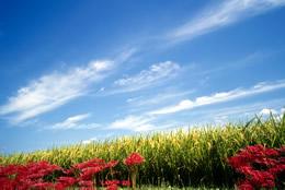 実りの稲穂と彼岸花と秋の空