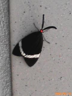 蝶2(ホタルガ・・・・でした)