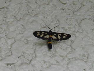 玄関先の蝶(ではなく蛾)